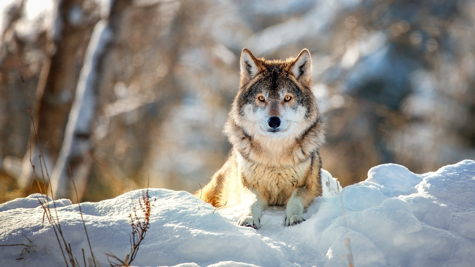 Wolf Sitting in the Snow HD Wallpaper | Background Image ...