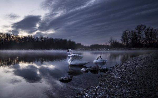 Animal Mute swan Birds Swans Swan Bird Lake HD Wallpaper | Background Image