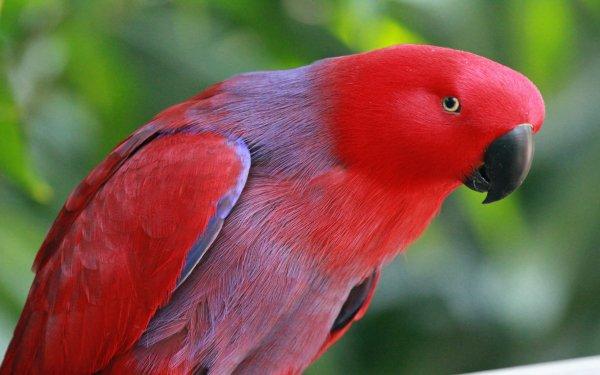 Animal Parrot Birds Parrots Bird Eclectus Parrot HD Wallpaper   Background Image