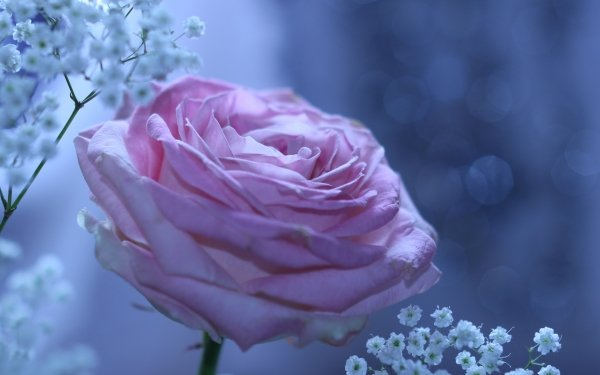Earth Rose Flowers Flower Purple Rose Nature HD Wallpaper   Background Image