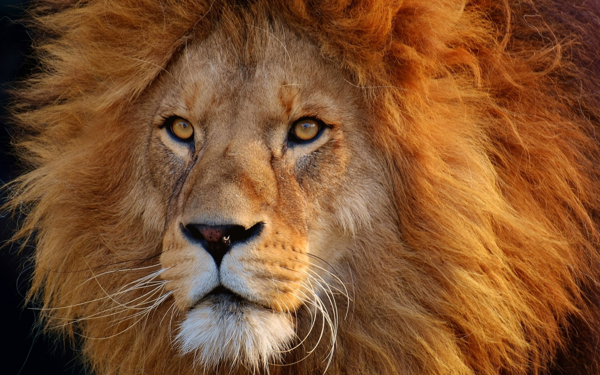 Male Lion HD Wallpaper   Background Image   2560x1600   ID ...