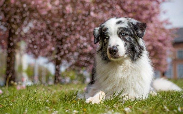 Animal Australian Shepherd Dogs Dog Pet Depth Of Field HD Wallpaper | Background Image