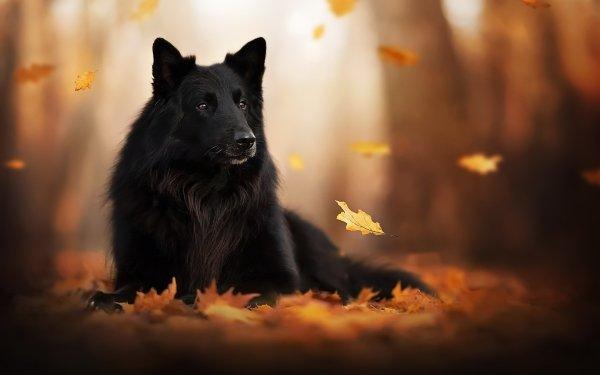 Animal Dog Dogs Pet Depth Of Field Fall Leaf Belgian Shepherd Groenendael HD Wallpaper   Background Image