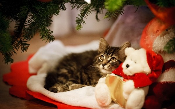 Animal Cat Cats Pet Teddy Bear HD Wallpaper | Background Image