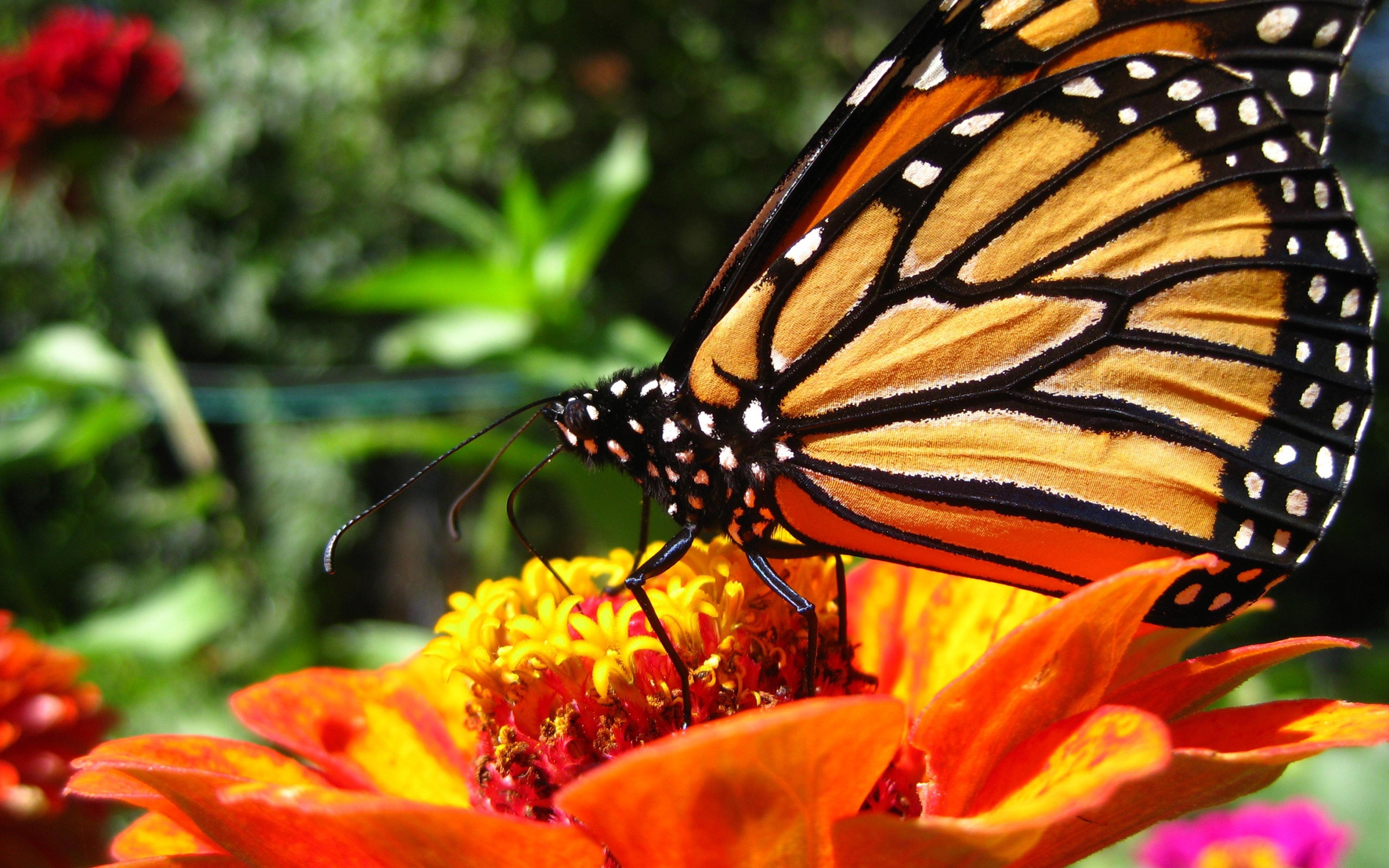 蝴蝶图片 4K高清壁纸 动物壁纸-第4张