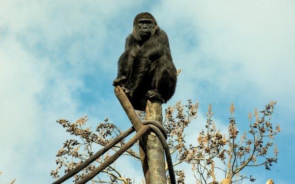 Animal Gorilla Monkeys Ape Zoo Primate HD Wallpaper | Background Image