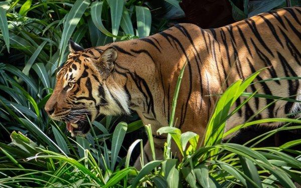 Animal Tiger Cats predator Wildlife Big Cat HD Wallpaper | Background Image