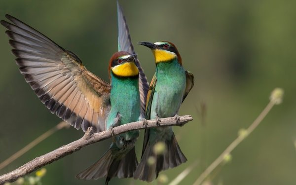 Animal Bee-eater Birds Bee-Eaters HD Wallpaper | Background Image