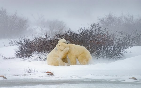 Animal Polar Bear Bears HD Wallpaper   Background Image