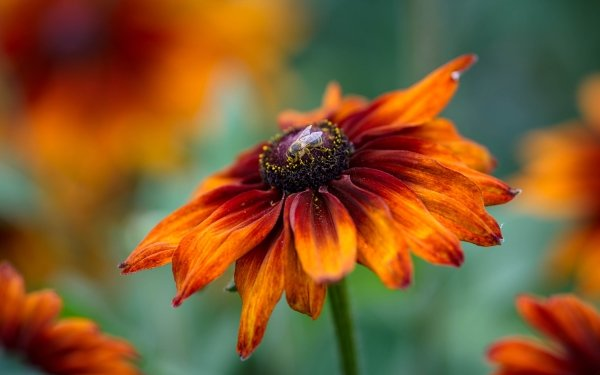Earth Black-Eyed Susan Flowers Flower Rudbeckia Fly HD Wallpaper   Background Image