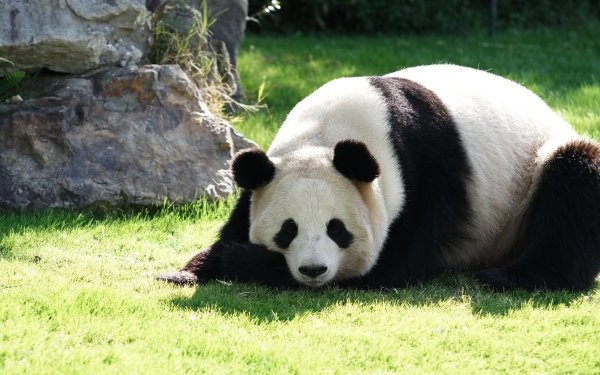 Animal Panda HD Wallpaper | Background Image