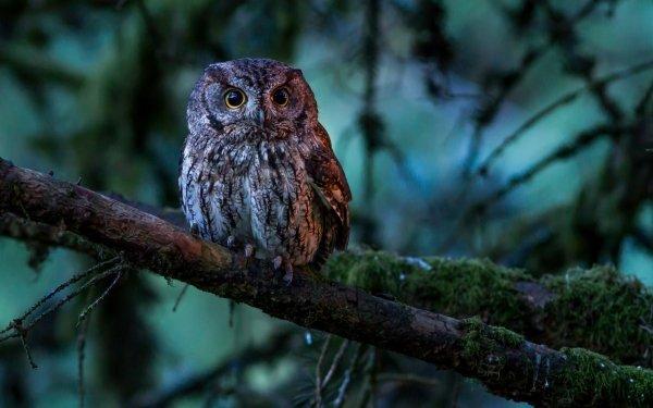 Animal Owl Birds Owls Bird Wildlife HD Wallpaper | Background Image