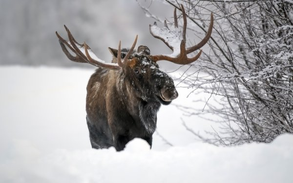 Animal Moose Winter Snow Wildlife HD Wallpaper | Background Image