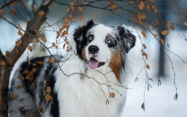 Animal Australian Shepherd Dogs Dog Pet HD Wallpaper | Background Image