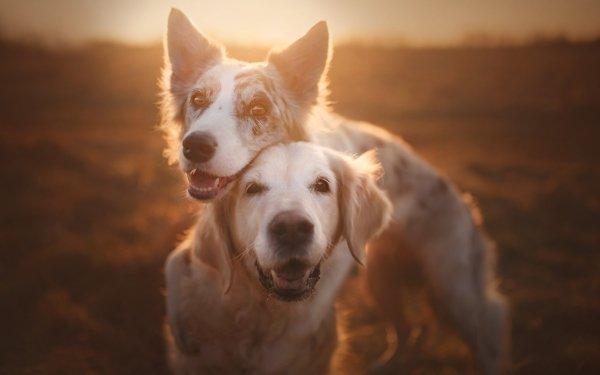 Animal Dog Dogs Golden Retriever Border Collie Pet HD Wallpaper   Background Image