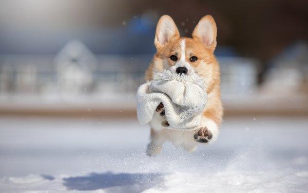 Animal Corgi Dogs Winter Snow Hat Dog Depth Of Field HD Wallpaper | Background Image