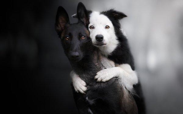 Animal Dog Dogs Border Collie Belgian Shepherd HD Wallpaper   Background Image