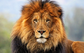 Animal - Lion Wallpapers and Backgrounds ID : 300168