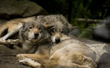 Animal - Wolf Wallpapers and Backgrounds ID : 303954