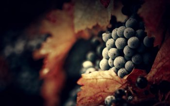 Food - Grapes Wallpapers and Backgrounds ID : 305968