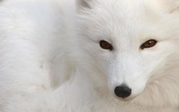 Animal - Arctic Fox Wallpapers and Backgrounds ID : 309920