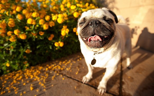Animal Pug Dogs Cute HD Wallpaper   Background Image