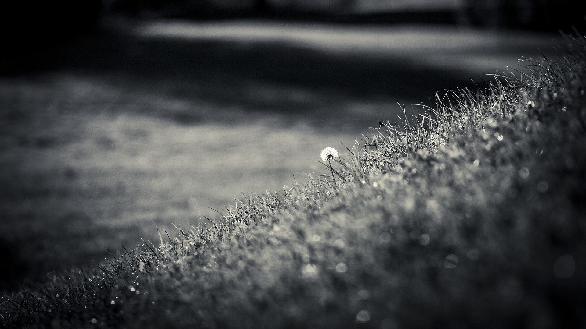 Photography - Black & White  Grass Dandelion Wallpaper