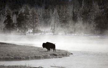Animal - Buffalo Wallpapers and Backgrounds ID : 312300