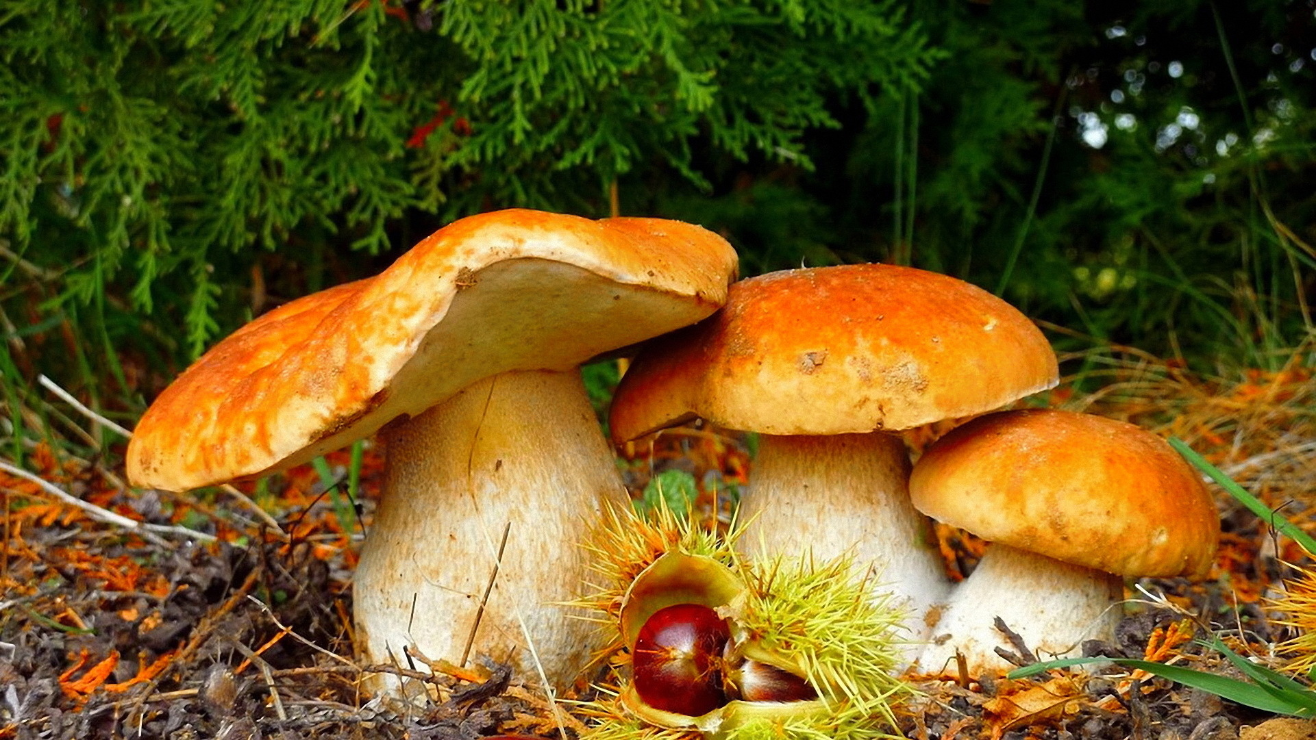 Mushroom Hd Wallpaper Background Image 1921x1081 Id