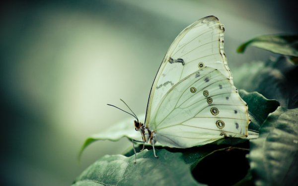Animali Farfalla Natura Macro HD Wallpaper | Sfondo
