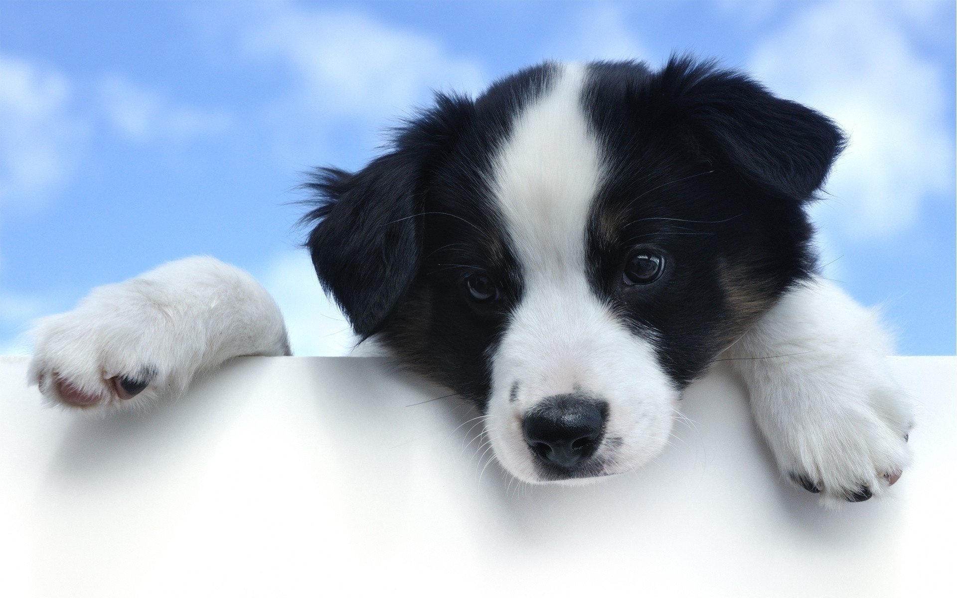486 Border Collie Hd Wallpapers Background Images Wallpaper Abyss