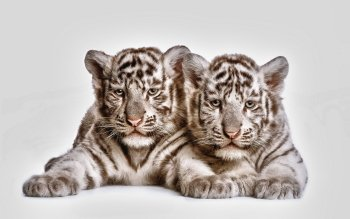 Animalia - Tigre Wallpapers and Backgrounds ID : 318785