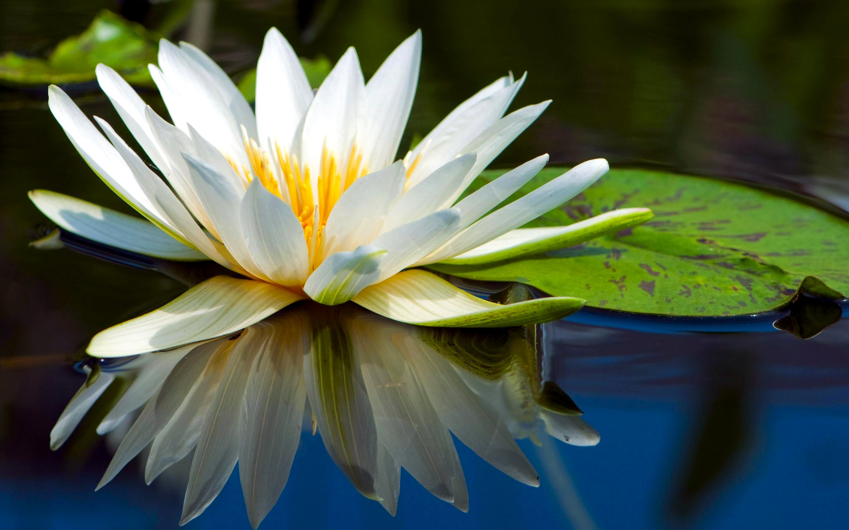 159 Water Lily Hd Wallpapers Background Images Wallpaper Abyss