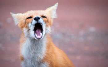 Animal - Fox Wallpapers and Backgrounds ID : 320966