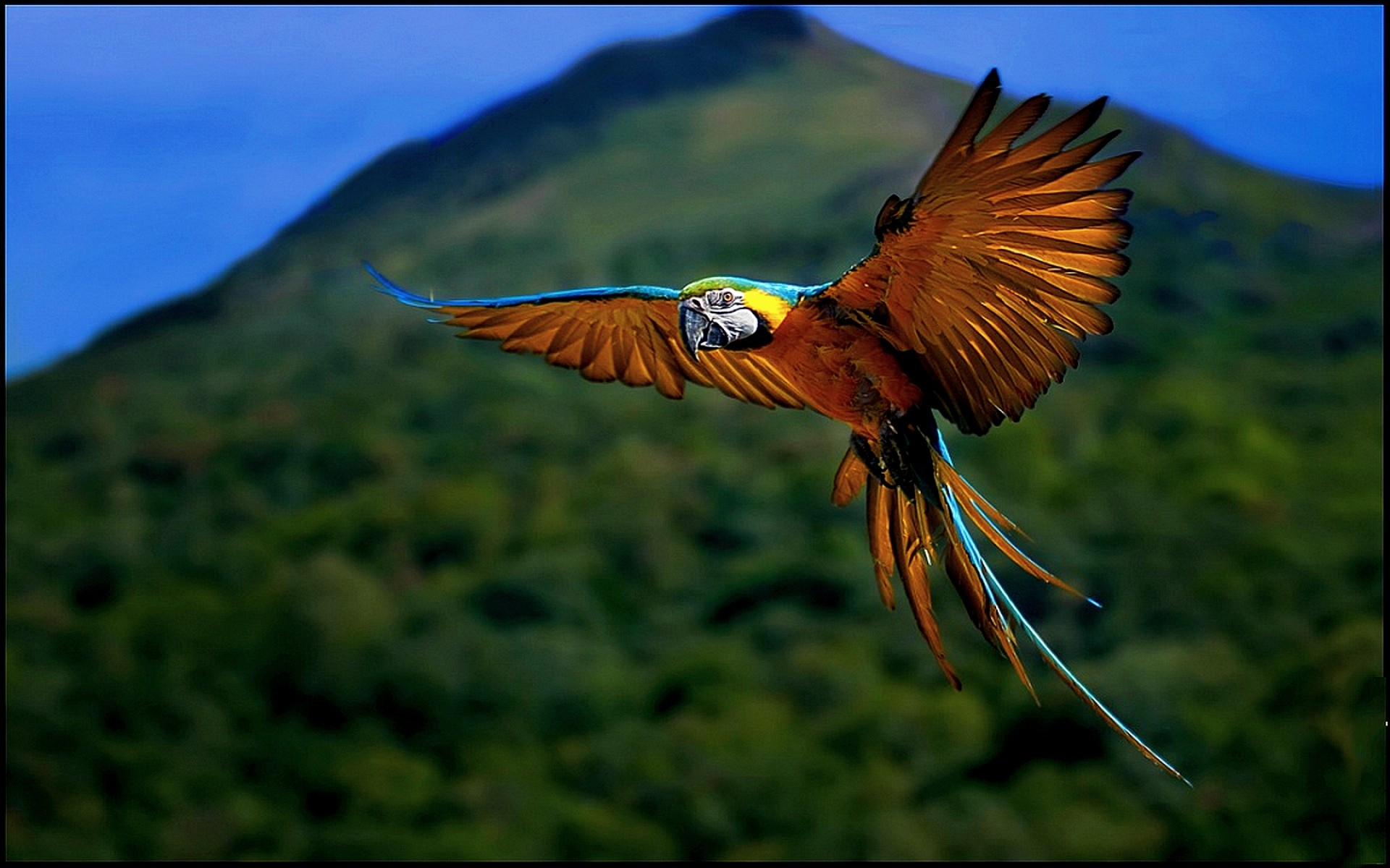 Blue and yellow macaw hd wallpaper background image - National geographic wild wallpapers ...