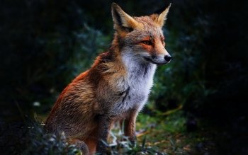 Animal - Fox Wallpapers and Backgrounds ID : 322450