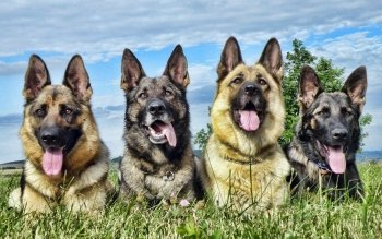 Tier - German Shepherd Wallpapers and Backgrounds ID : 323454