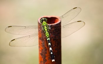 Animal - Dragonfly Wallpapers and Backgrounds ID : 323744