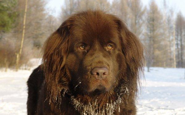 Animal Newfoundland Dogs HD Wallpaper | Background Image
