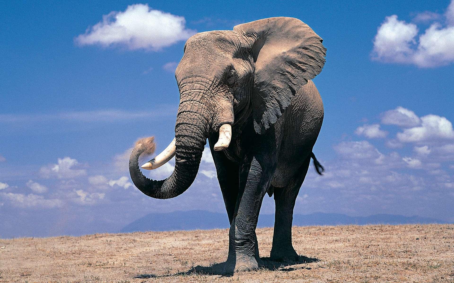Elephant full hd wallpaper and background image 1920x1200 id 324220 - Image elephant ...
