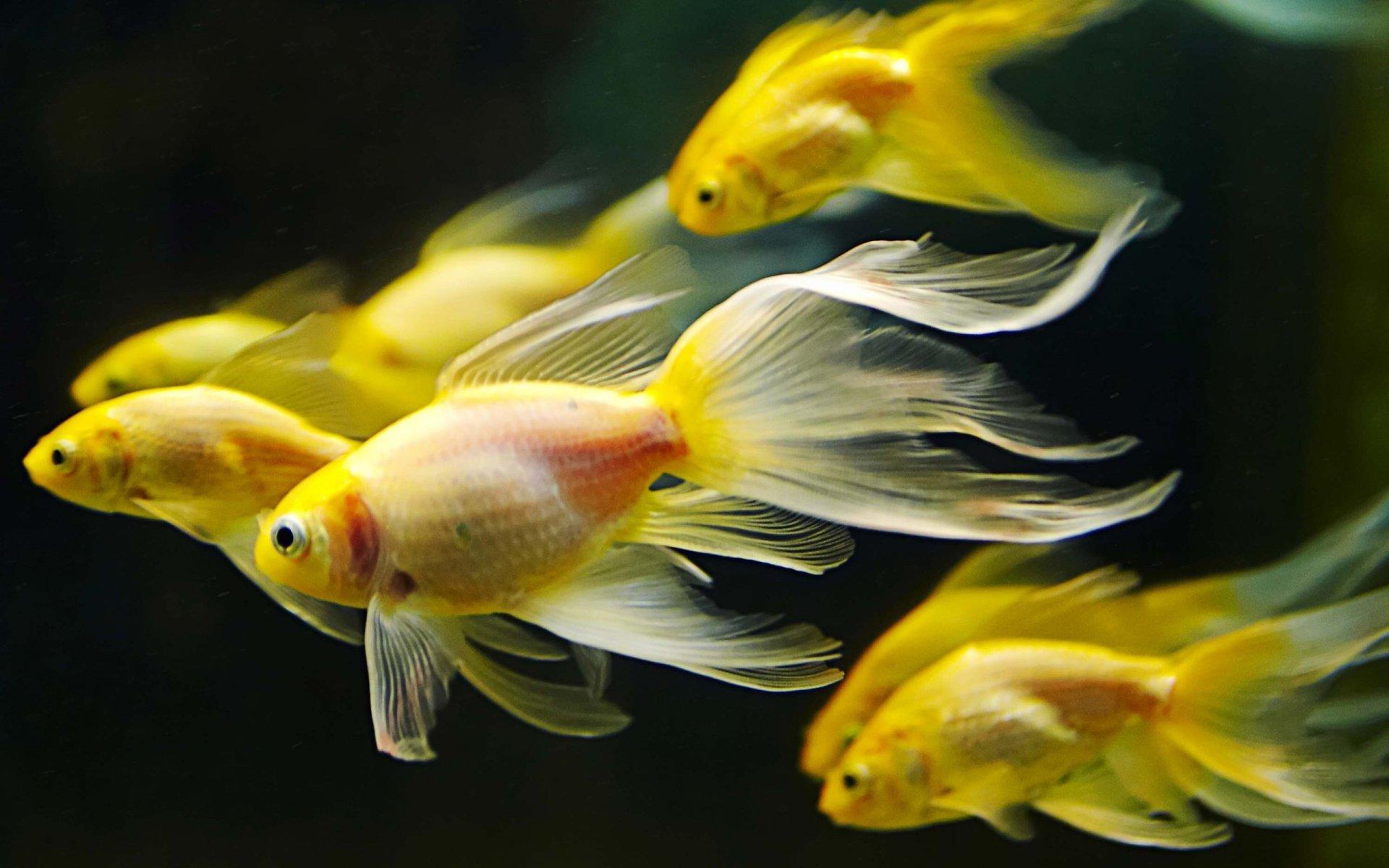 Animali - Pesce Rosso  Pesci Aquarium Sfondo