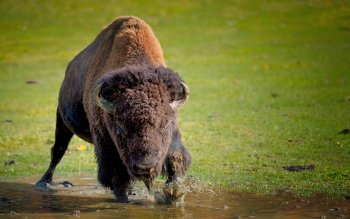 Animal - Buffalo Wallpapers and Backgrounds ID : 324117