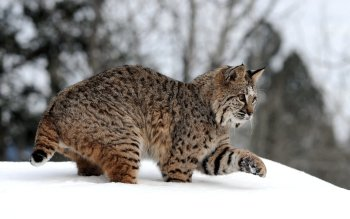 Animal - Lynx Wallpapers and Backgrounds ID : 324876