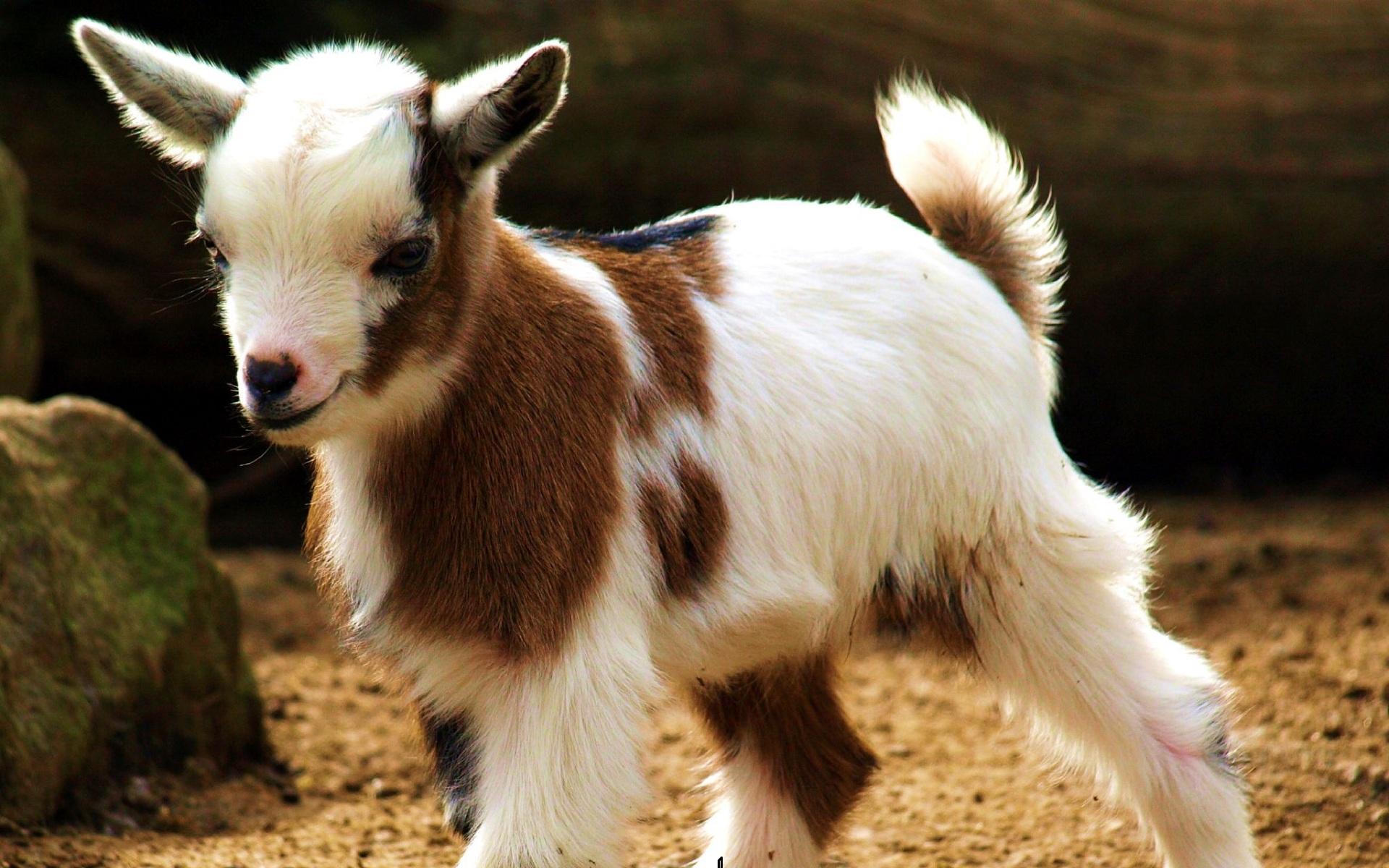 pics photos goat wallpaper