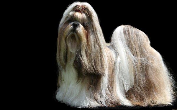 Animal Shih Tzu Dogs HD Wallpaper   Background Image