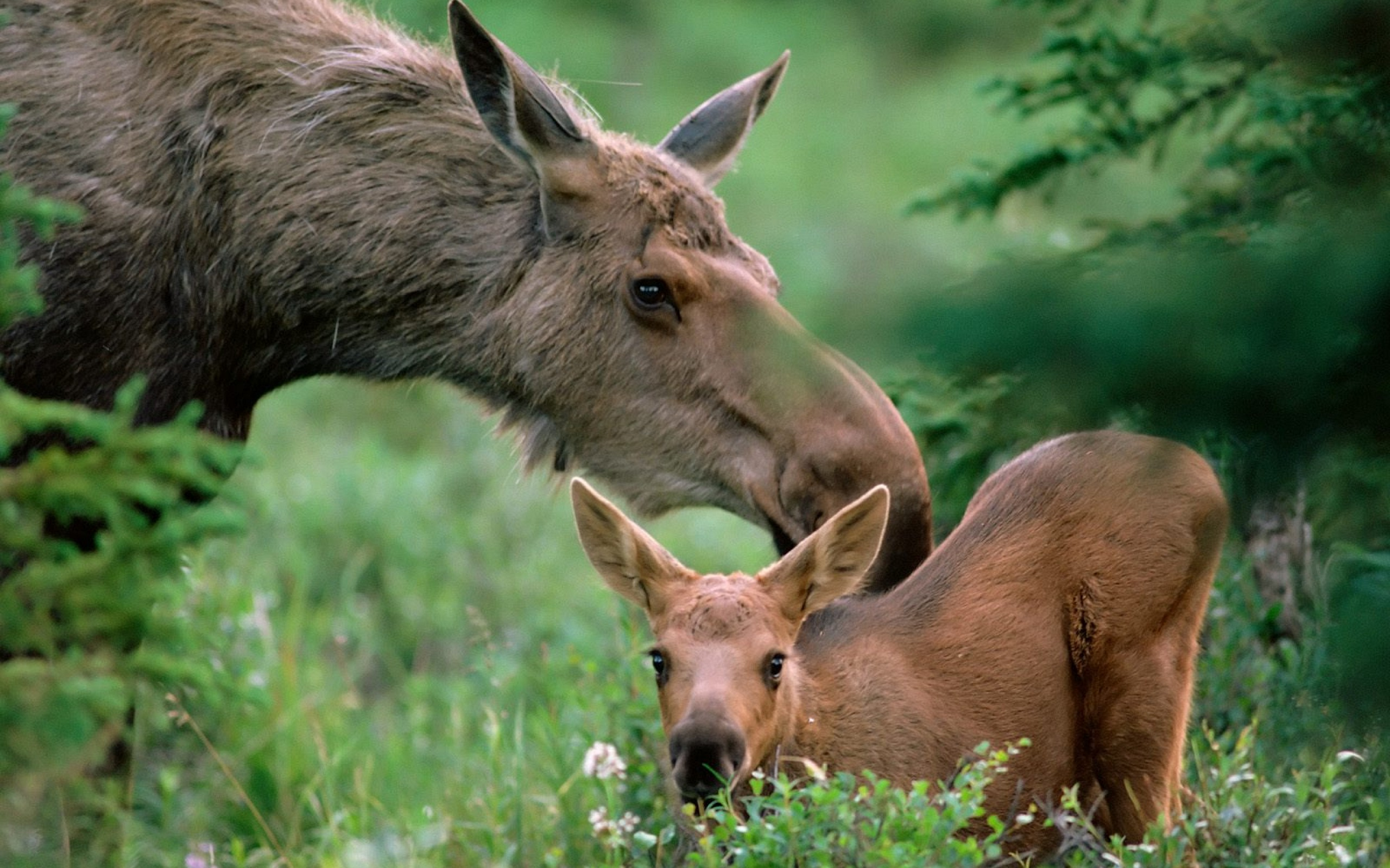 moose fall desktop wallpaper - photo #7