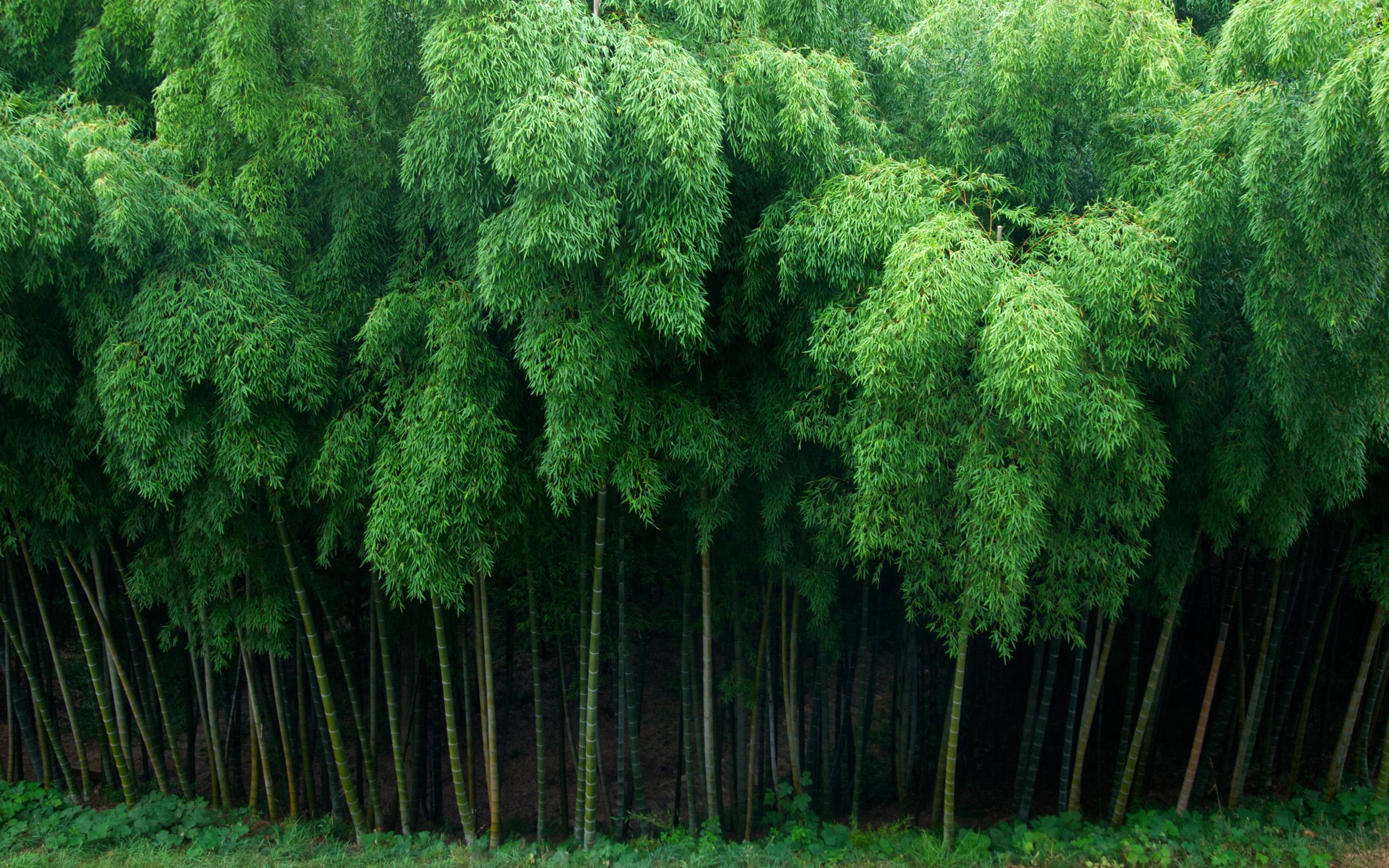 Bamboo Hd Wallpaper Background Image 2560x1600 Id