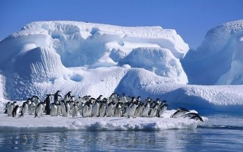 Animal - Penguin Wallpapers and Backgrounds ID : 326770