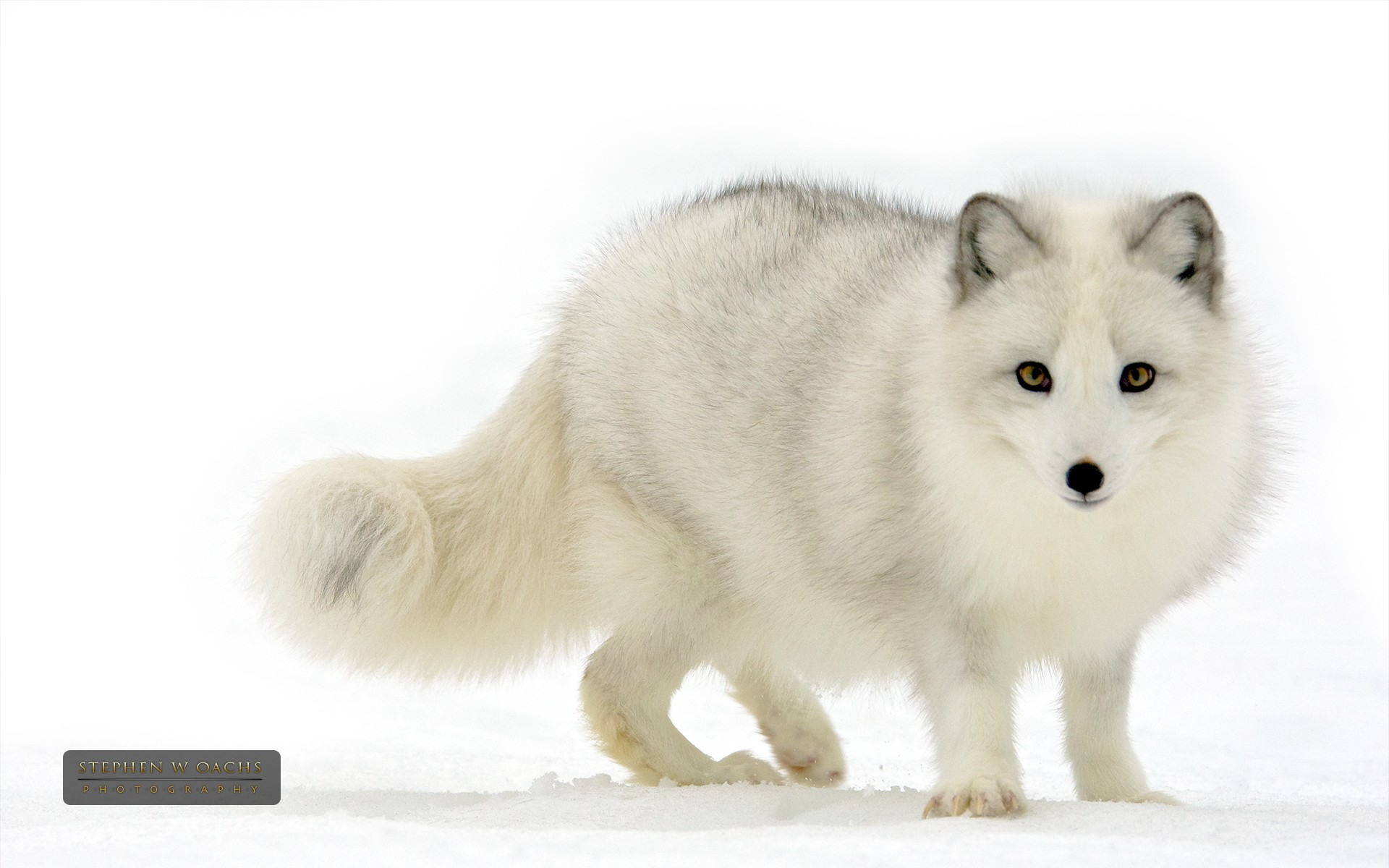 arctic fox cute white - photo #15
