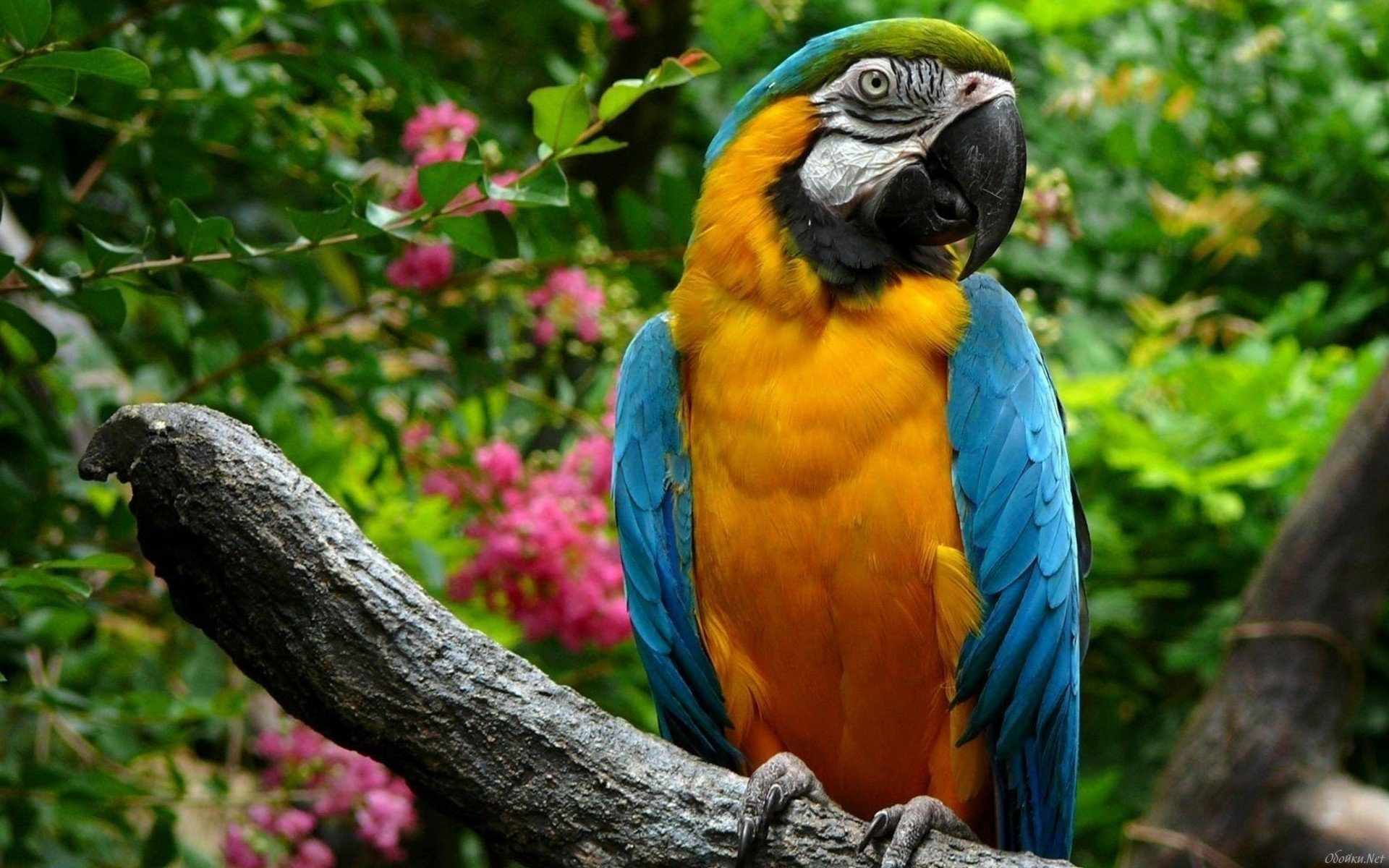 Animal - Blue-and-yellow Macaw  Wallpaper